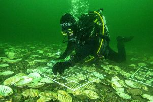 Glenmorangies Deep project lead scientist Bill Sanderson carefully lays native European oysters on the bottom of the Dornoch Firth. Picture: Richard Shucksmith