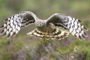 Hen harriers nest on the ground and like to eat grouse. Picture: RSPB