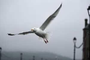 Queen of the South say tackling the problem of seagulls is a near impossible task. Picture: John Devlin