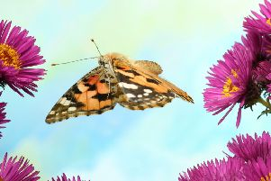 A painted lady. Picture: Shutterstock