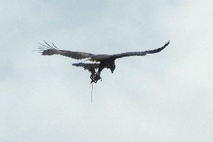 The golden eagle was spotted with a trap dangling from one of its legs