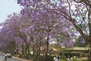 Caption: Mzuzu's famous jacaranda trees in full bloom, before they were controversially cut down last year. (Pic: Nigel Guy)