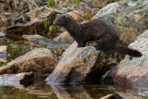 American mink were introduced to Scotland for the fur trade but have become established in the wild - decimating local wildlife