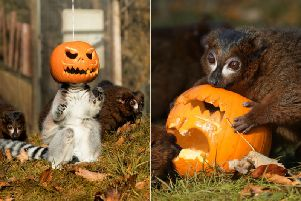 Lemurs foraging for food. Pictures: SIN ADDISION/RZSS