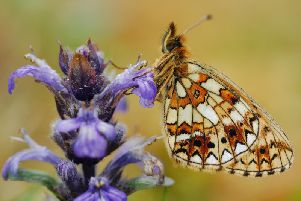 The small pearl-bordered fritillary, a specialist butterfly, has increased in the past 40 years