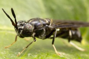 Black soldier flies have been identified as suitable 'livestock' for insect farming in Scotland