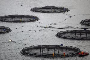 Around four million farmed salmon have escaped from sites around Scotland since 1995, sparking fears over the impact of hybridisation on Scotland's dwindling populations of wild native fish