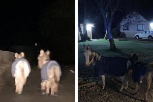 the animals wandering side by side in the darkness on the B9024 near Turriff, Aberdeenshire, at around 2am today   picture: Police Scotland