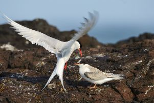 Arctic tern (Sterna paradisadea) feeding a sandeel to its newly fledged chick. All images courtesy of Scottish Natural Heritage