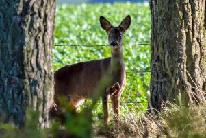 A deer at Bowmont Forest, south of Kelso