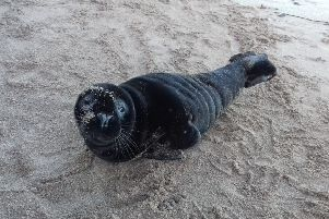 Rare black seal is rescued from Borders beach