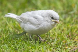 A rare white sparrow spotted in Lauder. Photo: Phil Wilkinson.