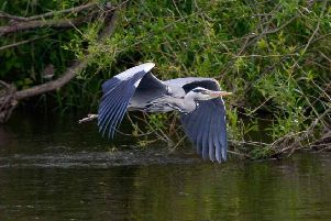 A heron above the Teviot on the outskirts of Kelso