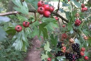 Hawthorn berries and bramble fruit by the River Tweed at Faldonside