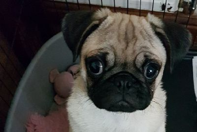 Pug puppy Tabitha reunited with owner after being stolen