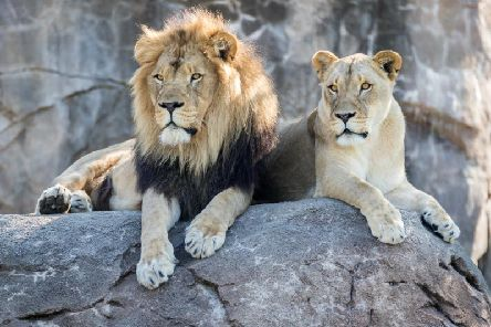Are you ready to capture the lions in their best light? (Photo: Shutterstock)