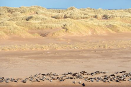 Grey seals at Forvie Nature Reserve