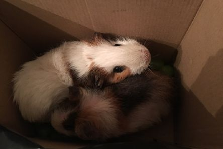 The abandoned Guinea pigs are being looked after at an SSPCA rescue centre.