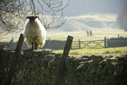 Wool has many environmental benefits unlike synthetic alternatives (Picture: Ian Georgeson)