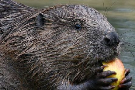 Beavers are to be given legal protection in Scotland, it has been announced. Picture: Gareth Fuller/PA