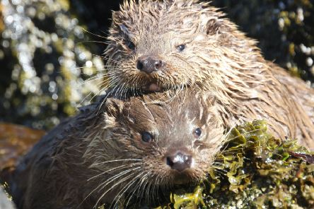 Two otter cubs take to the water in Shetland. Photograph: Ross Lawford