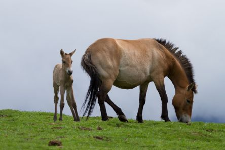 Once extinct in the wild, Przewalksi's horse and foal at Highland Wildlife Park