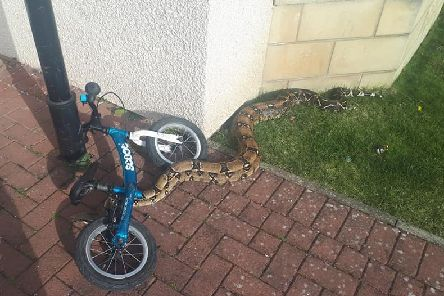 A seven-foot boa constrictor found by children in a garden in Innerleithen.