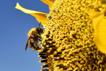 Many species of bees are on the brink of extinction in parts of the UK with some types lost entirely, a report has found. Picture: Owen Humphreys/PA Wire