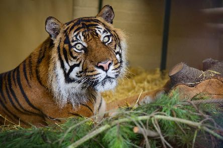 The late Jambi, a Sumatran tiger. Picture: TSPL