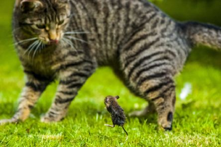 A cat owner photographed a real life moment of Tom and Jerry as a brave mouse took on a playful moggy. Picture: Gordon McBrearty/SWNS