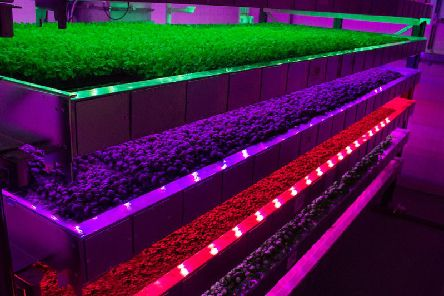 Produce growing under vertical farming methods at Intelligent Growth Solutions' Invergowrie facility. Picture: Contributed