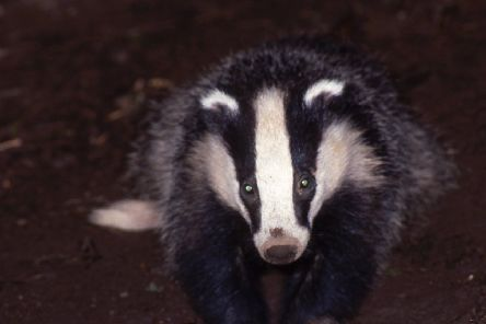 Badger numbers are on the increase