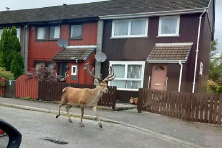 In the snaps, the stag calmly strolls down the street. Picture: SWNS