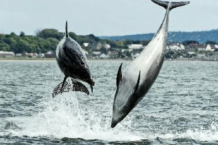 The incredible snaps show dolphins playfully leaping out of the water of the Moray Firth. Picture: SWNS