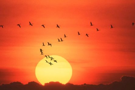 The flight of geese across Scotland is one of the true signs that summer is at an end. PIC: Contributed.