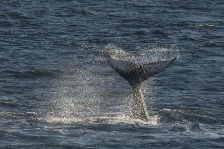 Humpback whales may swap songs. Iain Rudkin Photography/MCRC/PA Wire