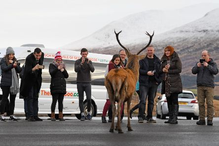 Tourists photograph a red dear stag visiting a car park near Glen Coe. (Photo by Jeff J Mitchell/Getty Images)