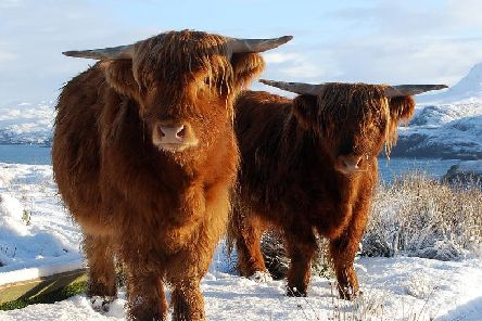 The Scottish highlands are no stranger to snow, hence the fluffy coos. Picture: Shutterstock.