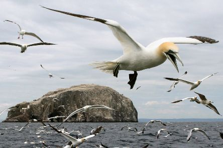 The world's biggest northern gannet colony on Bass Rock in the Firth of Forth