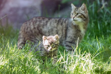 Wildcats are set to be reintroduced in the Scottish Highlands from 2022 after the native species was declared 'functionally extinct' in the wild