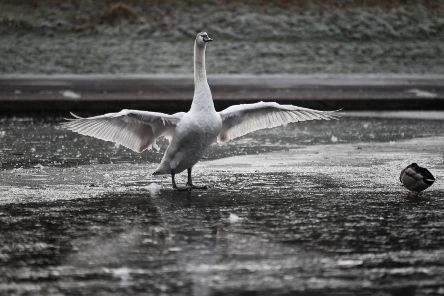 A swan stands on a frozen pond in Glasgow's Alexandra Park as temperatures dropped around the country. Picture: John Devlin