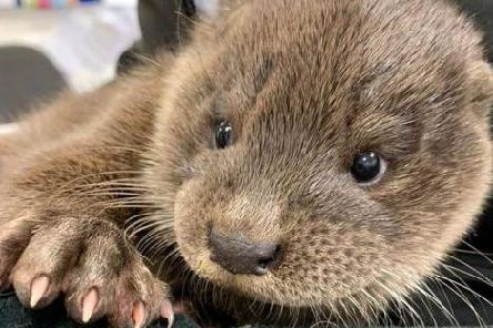 The unnamed baby otter was rescued in Inverurie