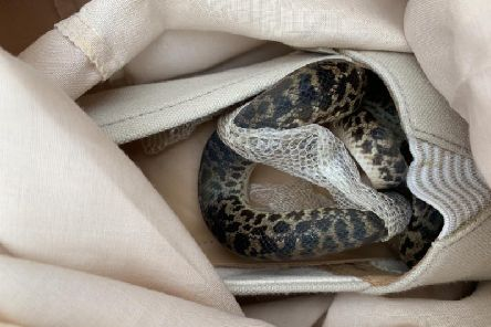 A snake was found in a woman's handbag when she landed in Scotland after her trip to Australia    picture: SSPCA