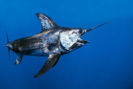 Swordfish are fast, powerful and agile predators that are more usually found in warmer waters in the Mediterranean or Caribbean