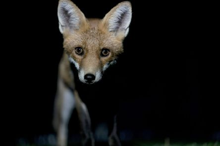 Foxes are apparently still being hunted for 'sport' (Picture: AFP/Getty)