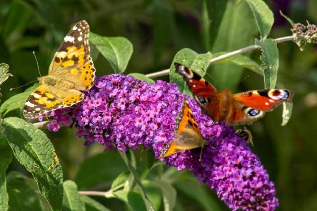 This butterfly trio ' a painted lady, peacock and  tortoiseshell ' landed on the buddleia in Gillian Watson's Lauder garden