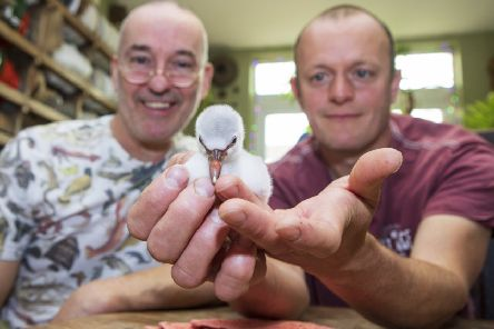 A four-day-old Chilean flamingo chick being hand-reared by Mark Haillay and Owen Joiner at Bird Gardens Scotland at Oxton. Photo: Katielee Arrowsmith/SWNS