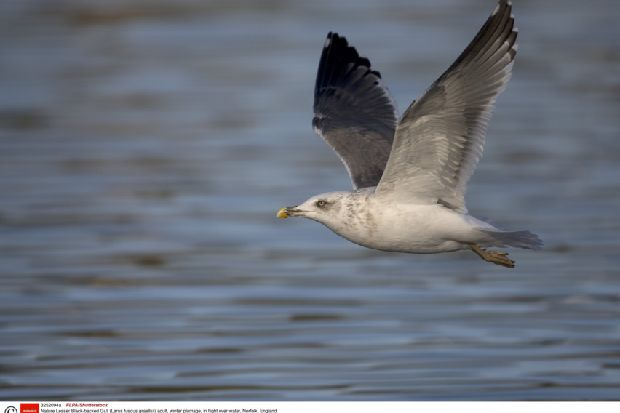 Protected gulls face year-round danger of hitting wind turbines
