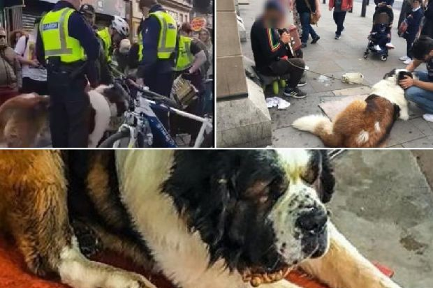 'Drugged' dog used by buskers in Edinburgh for begging has been rescued