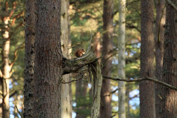 Red squirrels return to new Highland habitats as conservation drive steps up